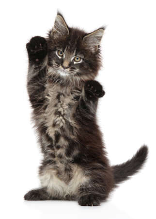 Portrait of a Maine Coon kitten standing on its hind legs on a white background
