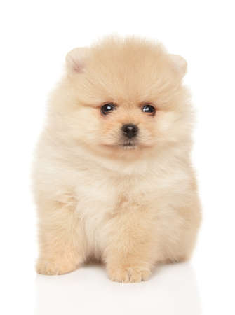 Tiny Spitz puppy sits on white background