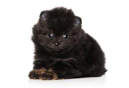 Close-up of Black Zwerg Spitz puppy on white background
