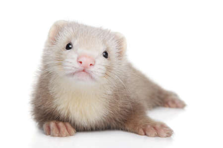 Polecat puppy posing in front of white background