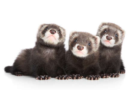 Three ferret puppy posing on white background Reklamní fotografie