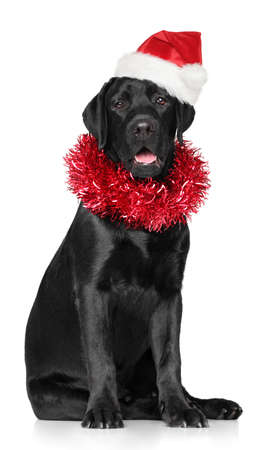 Happy dog, Black Labrador in Santa red cap and with a garland on the neck on white background. Christmas animals theme