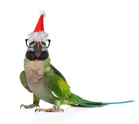 Parakeet in glasses and Santa red cap on white background. Christmas animals theme Reklamní fotografie