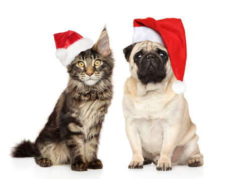 Pug dog and Maine Coon kitten in Santa red hats, on a white background. Christmas animals theme