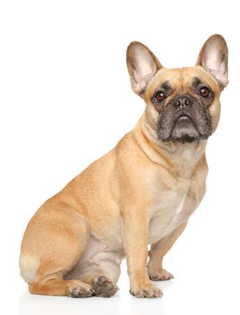 Entzückende französische Bulldogge, die auf weißem Hintergrund sitzt. Tierthemen