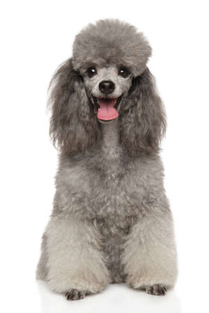 Portrait of a young Happy Poodle dog on a white background. Animal themes