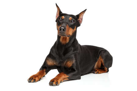 Adorable German Pinscher dog lying on white background. Animal themes