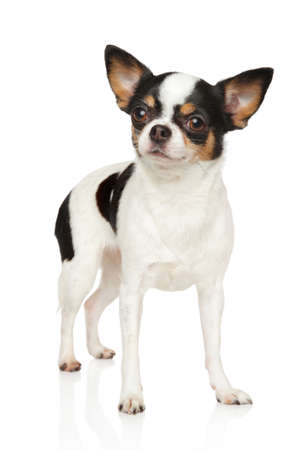 Portrait of a young Chihuahua dog in stand on a white background. Animal themes Фото со стока