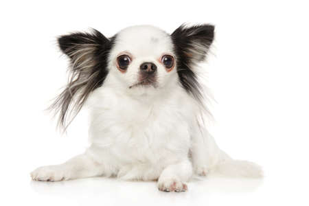 Black and white Chihuahua puppy lying in front of white background. Baby animal theme 版權商用圖片