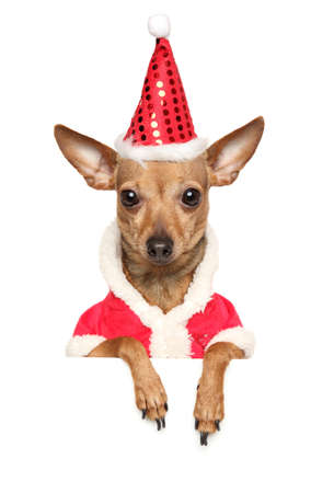 Funny Chihuahua dog in winter clothes and Santa red hat isolated on white banner Stock Photo