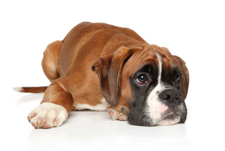 Sad Boxer dog puppy waiting for the owner , lying on a white background. Animal theme