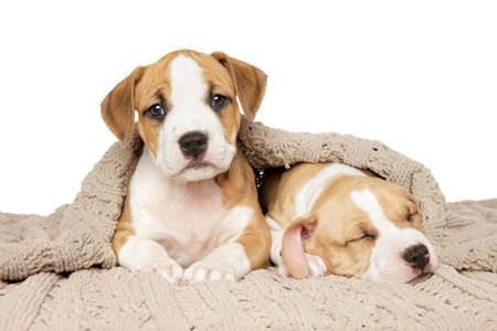 Two American Staffordshire Terrier puppies under a blanket on a white background. Baby animal theme