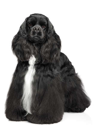 American Cocker Spaniel in stand on a white background. Animal themes