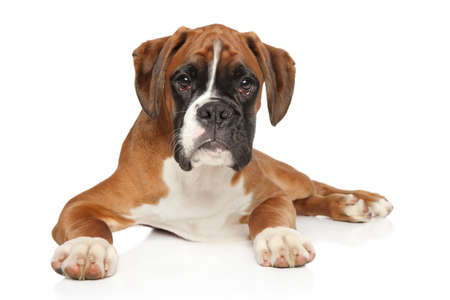 Portrait of beautiful German Boxer puppy on white background. Animal themes