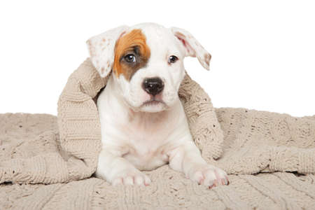 American Staffordshire terrier puppy lying under blanket on white background. Baby animal theme