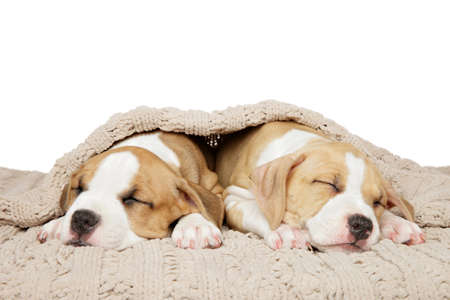 American Staffordshire Terrier puppies sweetly sleep under a blanket on a white background. Baby animal theme