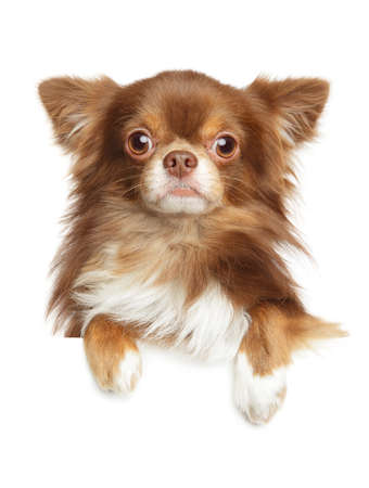 Close-up portrait of a Longhaired Chihuahua dog above banner, isolated on white background