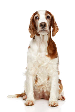 Welsh Springer Spaniel dog sits on a white background. Animal themes