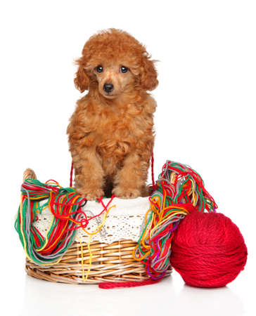 Toy Poodle puppy in a wicker basket with a ball of thread posing on a white background