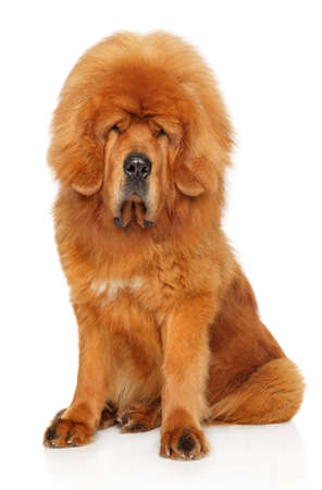 Young Tibetan Mastiff red dog sits on white background. Animal themes
