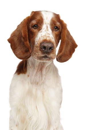 Young Welsh Springer Spaniel dog on white background. Animal themes Reklamní fotografie