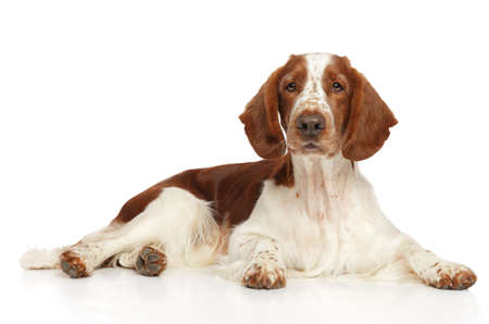 Welsh Springer Spaniel dog on white background. Animal themes Фото со стока