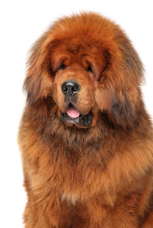Close-up portrait of red Tibetan Mastiff on white background
