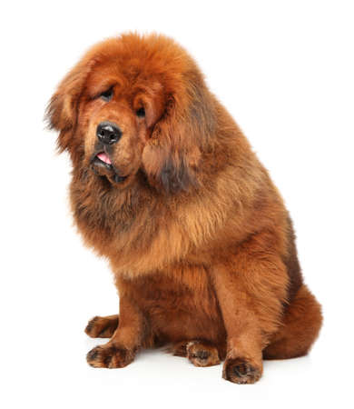 Portrait of huge Tibetan Mastiff on white background Stock Photo