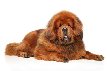 Tibetan Mastiff lying on white floor. Animal themes Stock Photo