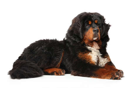 Portrait of a young Tibetan Mastiff dog on a white background. Animal themes