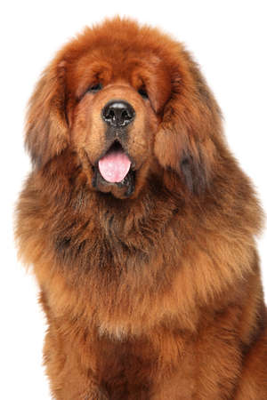 Portrait of huge red Tibetan Mastiff on white background. Animal themes
