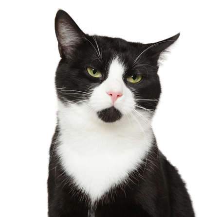 Portrait of a black mixed-breed cat, isolated on white background. Animal themes, front view