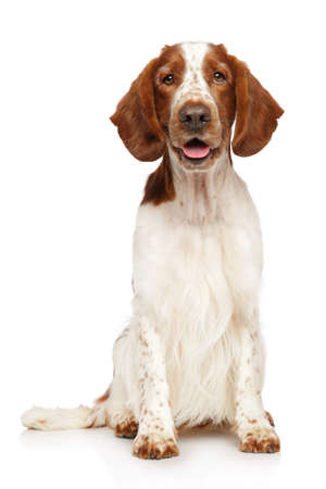 Portrait of a young and happy Welsh Springer Spaniel dog on a white background. Animal themes Reklamní fotografie