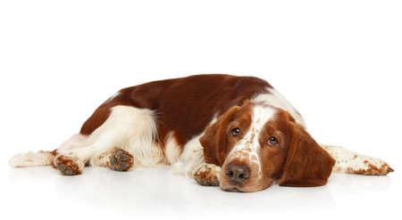 Sad Springer Spaniel lying on white background. Animal themes Reklamní fotografie
