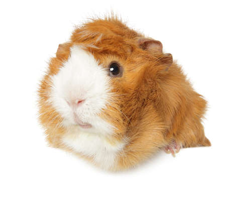 Cute Guinea Pig above banner, isolated on white background
