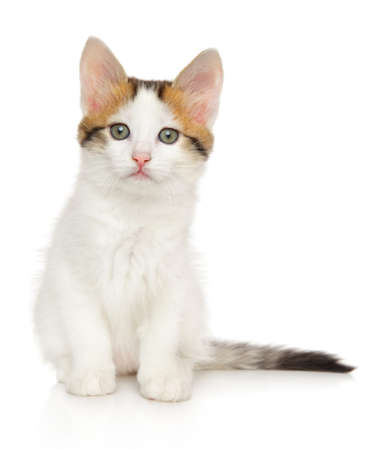 Turkish Angora kitten of tortoiseshell color sits on on white background. Baby animal theme
