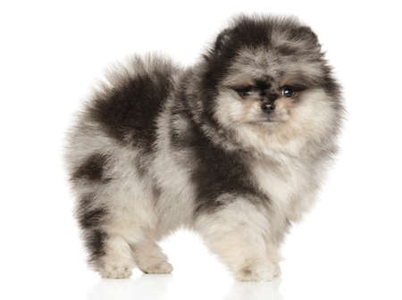 Pomeranian Spitz puppy standing on white background. The theme of baby animals