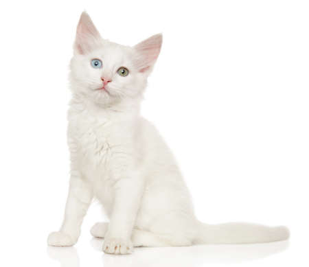 Turkish Angora kitten sitting on a white background. The theme of baby animals Reklamní fotografie