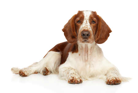 Welsh Springer Spaniel dog posing on a white background, front view