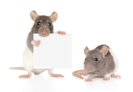 Dumbo Rats with small banner isolated on a white background. 스톡 콘텐츠