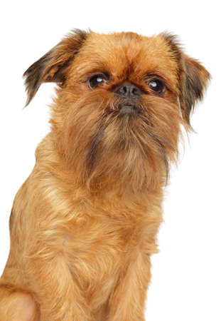 Brussels Griffon dog portrait, isolated on white, front view 版權商用圖片