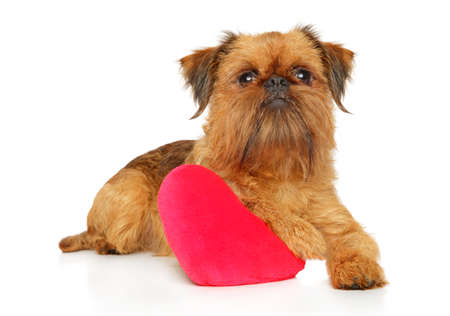 Brussels griffon with festive red heart resting on white background. Animal themes Фото со стока