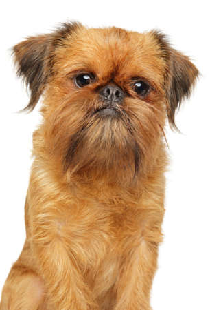 Close-up of a Brussels griffon, isolated on white background. Animal themes, front view