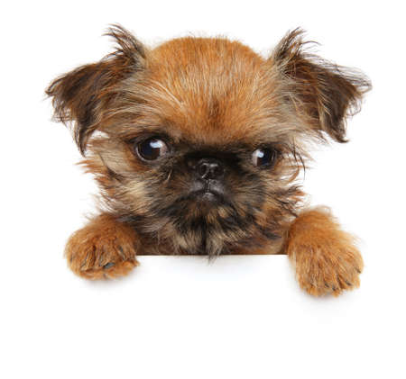Close-up of a Brussels Griffon puppy above banner, isolated on white background Фото со стока