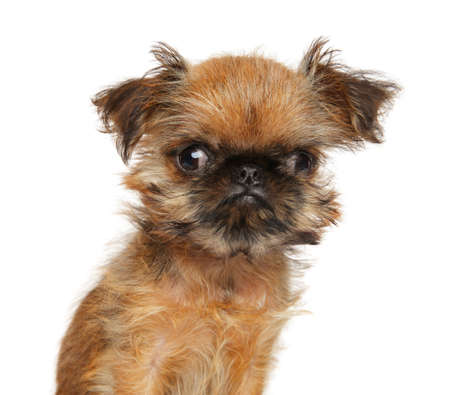 Close-up of a funny Brussels Griffon puppy, isolated on white. Animal themes Фото со стока