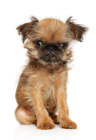 Portrait of a Brussels Griffon puppy on a white background. Baby animal theme