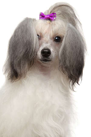 Portrait of a hairy Chinese Crested dog on white background, front view. Animal themes