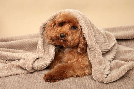 Toy poodle puppy lying under the blanket on the couch