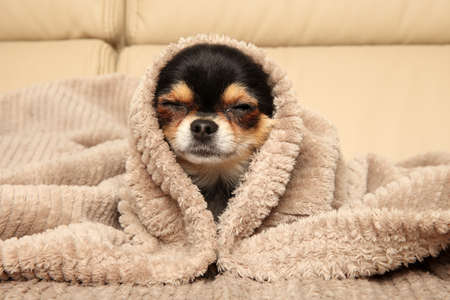 Happy Chihuahua puppy lying under a blanket on the couch
