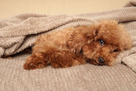 Red Toy Poodle puppy resting under blanket